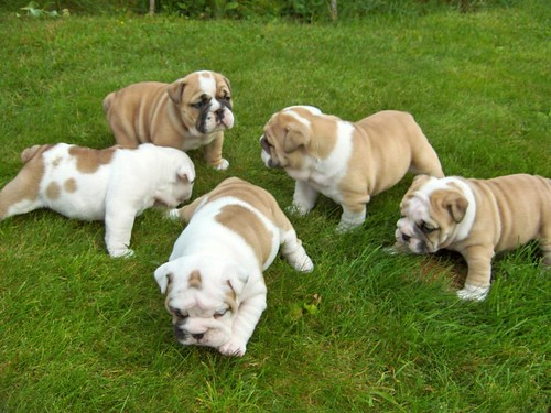 Angļu bulldoga kucēni