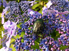 檜町公園のハナムグリ(Beetle, Hinokicho Park, Tokyo, Japan)