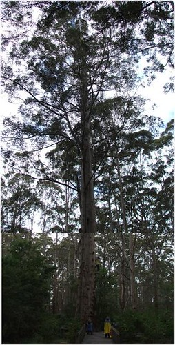 large karri tree