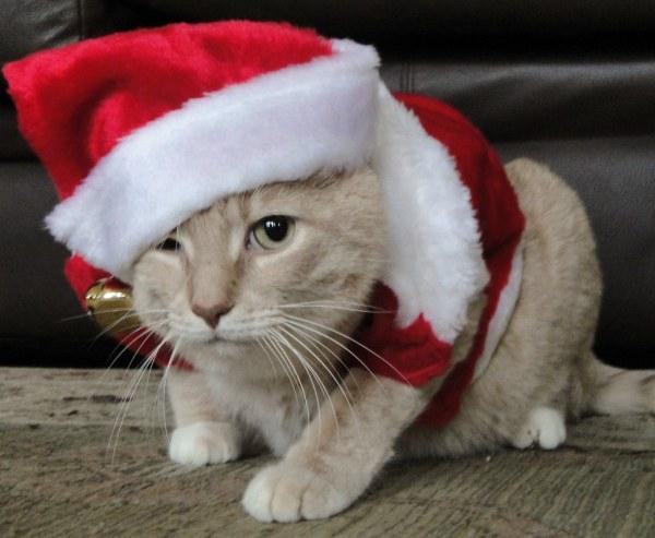 Fat Cats with Santa Hats