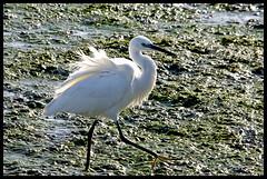 Little Egret - contre jour