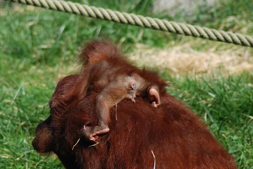 Orang-Utans Manis und Dayak im Zoo Parc de Beauval