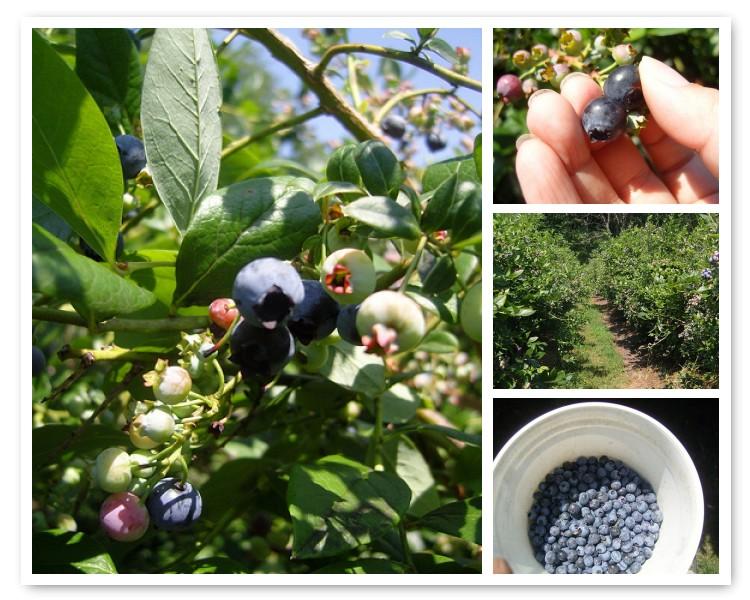 @ the blueberry farm (sawyer, mich)