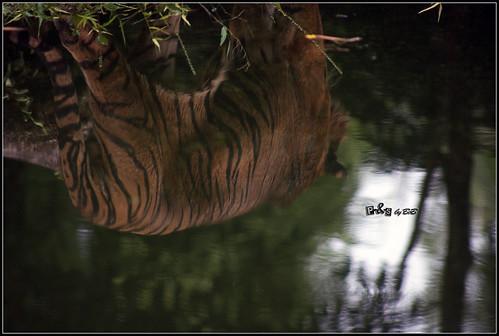 Bumi, the Sumatran Tiger (Panthera tigris sumatrae)