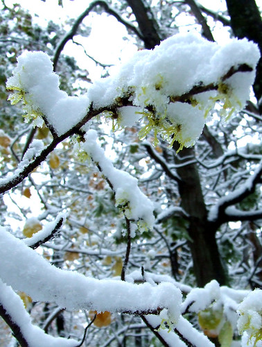 October snow on witch hazel blossoms