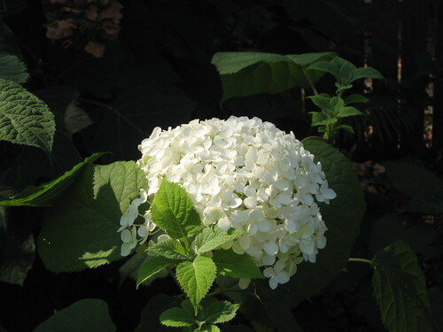 Annabelle hydrangea - blooming in August!