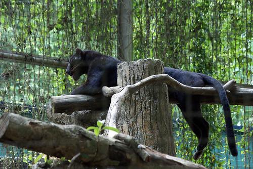 Black Leopard (Panthera pardus)