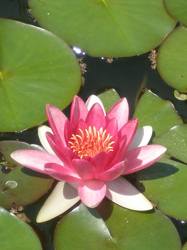 Lotus Blossom in the Lily Pool