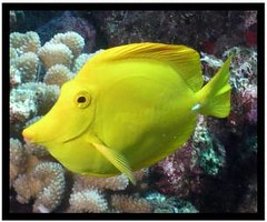 Yellow Tang lives up to 40 years