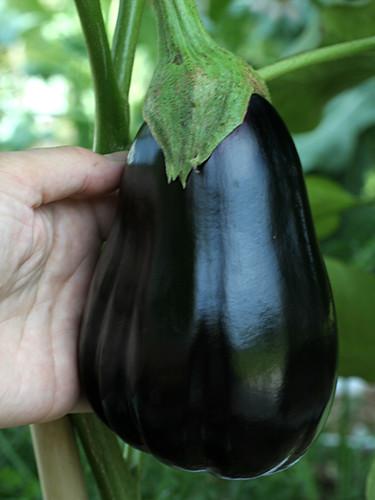 Eggplant-big