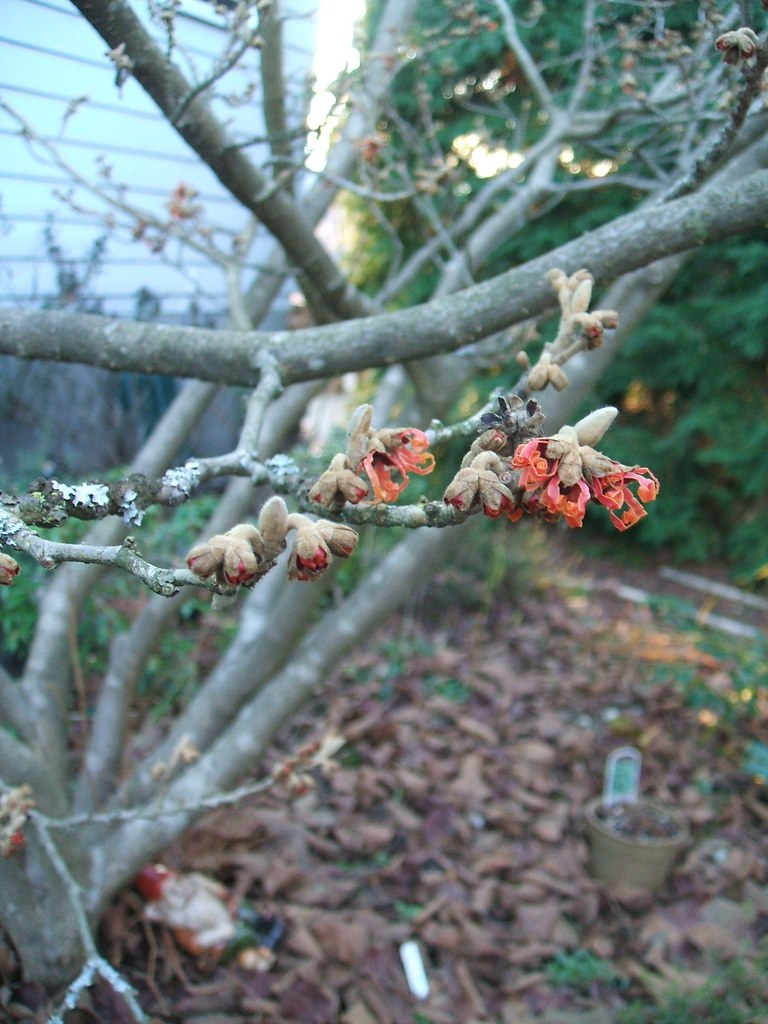 Dec 27 09 1st Witch Hazel 'Jelena' Flower