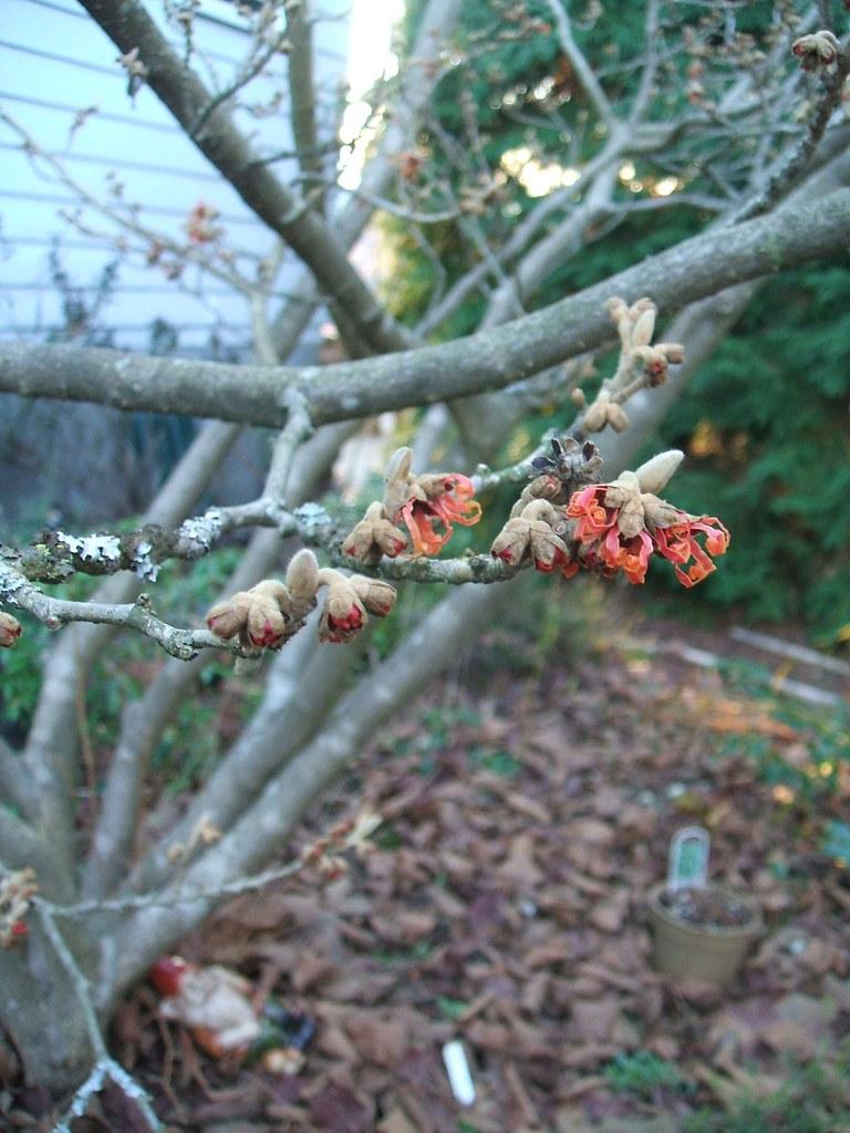 Dec 27 09 1st Witch Hazel 'Jelena' Flower