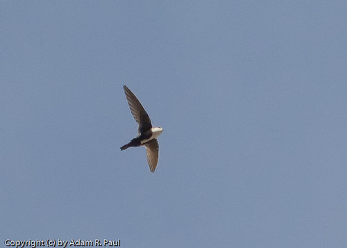 White-throated Swift by you.
