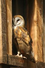 Owl in the Window, Ruston, Tacoma