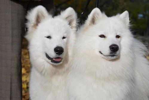 Smaidīgie samojedi