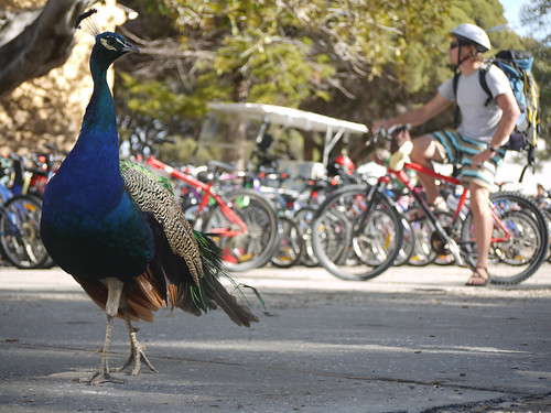 Peacock walks, guy bikes
