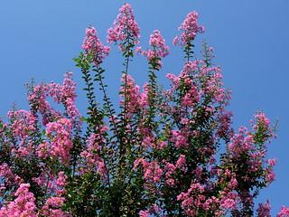 IMG_8108 Crape Myrtle in Full Bloom