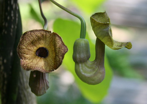 Woolly Pipevine, Aristolochia tomentosa, flowers