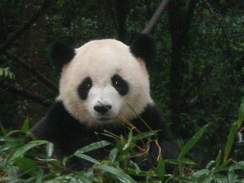 Baby Panda Eyes