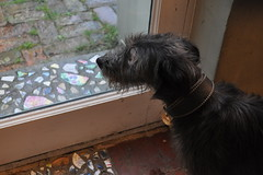 Lurcher with broken pottery