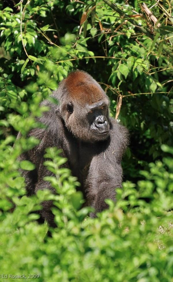 Gorilla watching people