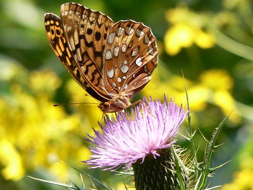 Sinking Creek Mountain - Butterfly on Flower