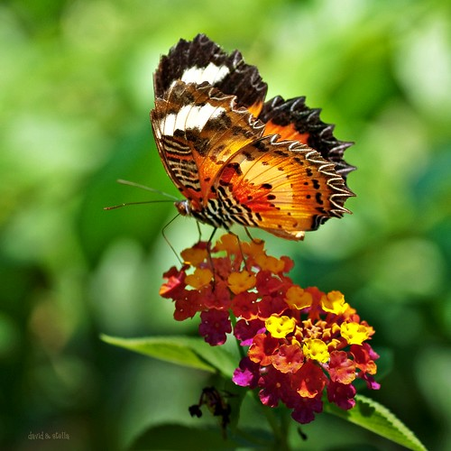 Malay Lacewing II {cethosia hypsea hypsina}