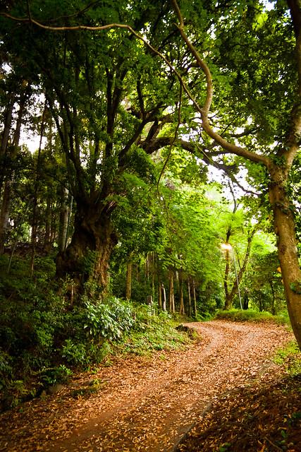 #55 Giant Quercus Sessilifolia of Horinouchi