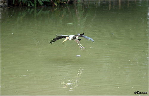 Painted Stork (Mycteria leucocephala) in flight