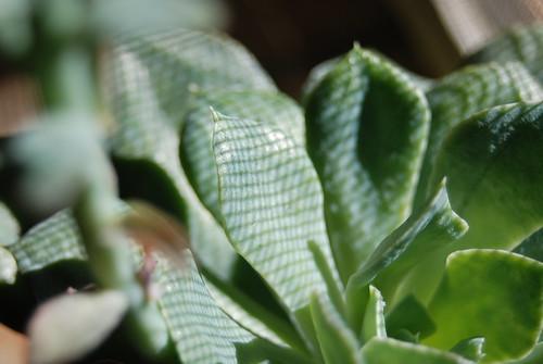 Window Cactus - Study