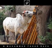 Olx Pakistan Animals Bakra - Year of Clean Water