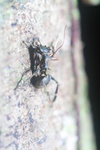 Cephalotes atratus w/ sprouted Cordyceps