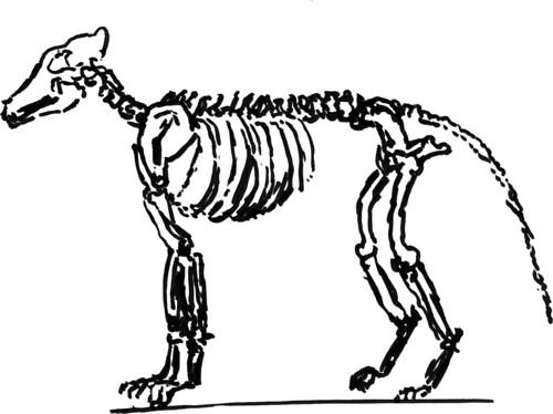 Dog skeleton, part 3