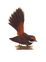 Chichirika/Naabak (Rufous Fantail)