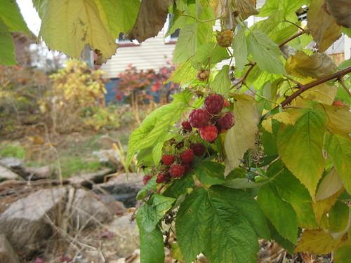 November raspberries!