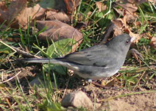 Slate-colored Junco
