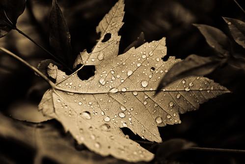 Fall Drops,Ancient Light