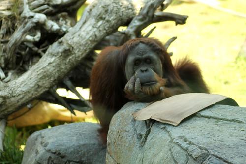pensive orangutan