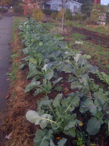 Autumn brassicas in Lents