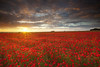 Salisbury Plain poppy field