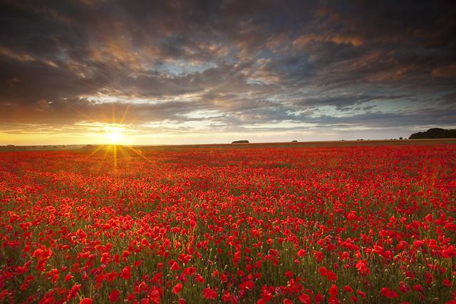 Salisbury Plain poppy field
