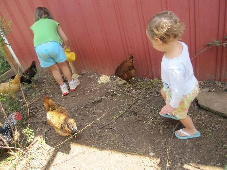 Chicken Traps