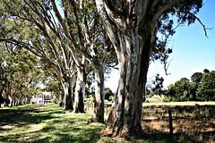 Oakbank Trees