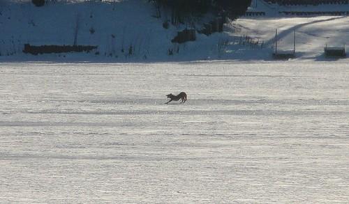 coyote yawns on lake zurich