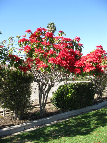 Big poinsettia