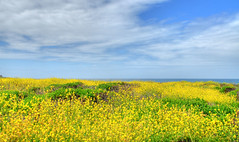 Field of wild flowers on pacific coast highway