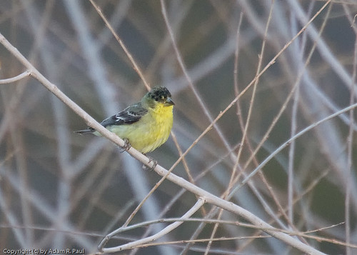 Lesser Goldfinch by you.