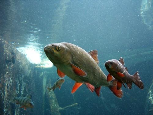 Näiden kalojen tarkoitus on kertoa suomalaisesta luonnosta Rantasalmen Järviluontokeskuksen kävijöille. Kuva kesältä 2005.
