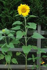 tall sunflowera