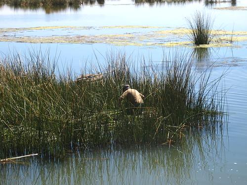 Harvesting reeds on Lake Titicaca